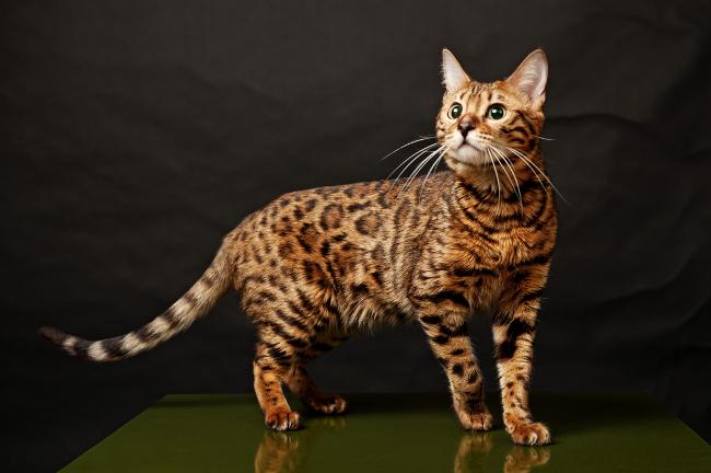фото и названия породы кошек