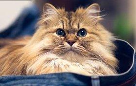 диванная персидская кошка