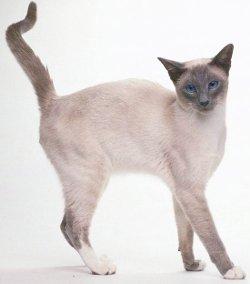 кошка сиамской породы, фотография